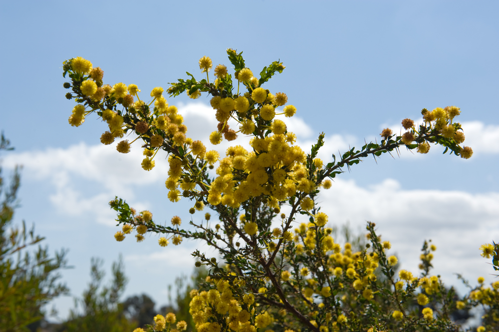 Photo of Почему золотая акация стала цветочным символом Австралии?